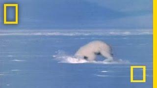 Polar Bear Attacks Seal | National Geographic