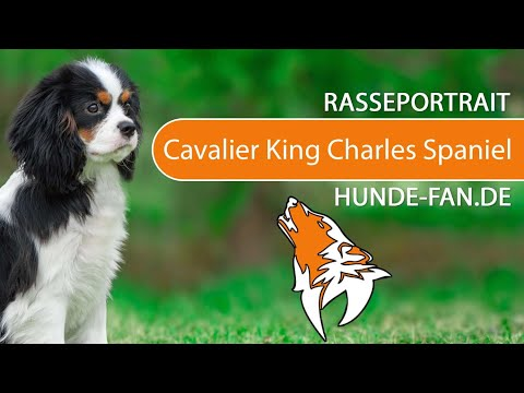 Cavalier King Charles Spaniel [2018] Rasse, Aussehen & Charakter