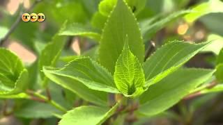 видео Как вырастить гортензию?