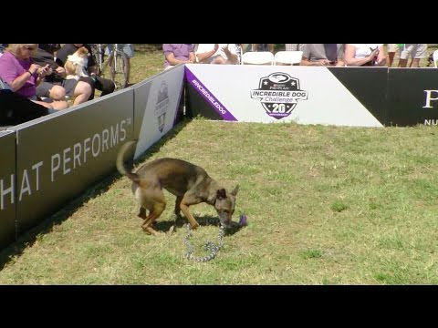 Full Large Dog Agility Competition - 2017 Purina® Pro Plan® Incredible Dog Challenge® Eastern