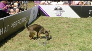 Full Large Dog Agility Competition  2017 Purina® Pro Plan® Incredible Dog Challenge® Eastern