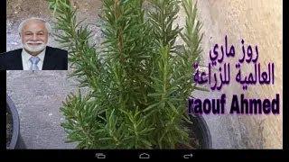 نبات الروزماري او اكليل الجبل وكيفية العناية وفوائدة