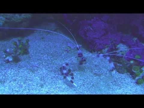 Zebra star vs fire shrimp vs coral banded (boxer) shrimp