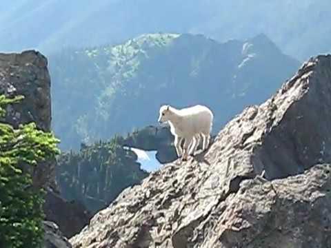Mountain Goats on Mt Ellinor   Olympic mountains    YouTube