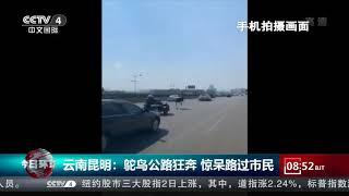 [今日环球] 云南昆明:鸵鸟公路狂奔 惊呆路过市民 | CCTV中文国际