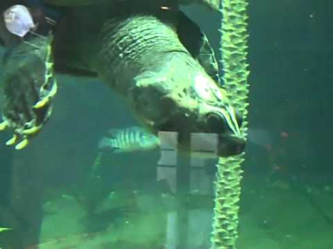 Amazon river turtle at Miami Metro Zoo