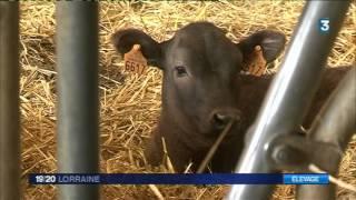 Agriculture : Le boeuf de Kobé s'élève en Lorraine