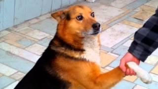Собака смешно крутится и постоянно подаёт лапу