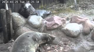 Fokarium w Helu na żywo / Webcam - Kolejne odwiedziny Bubasa