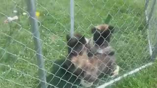 AKITA PUPPIES FOR SALE Toronto, Ontario Montreal, Quebec, CA Text Us at  +1 614 385 2482