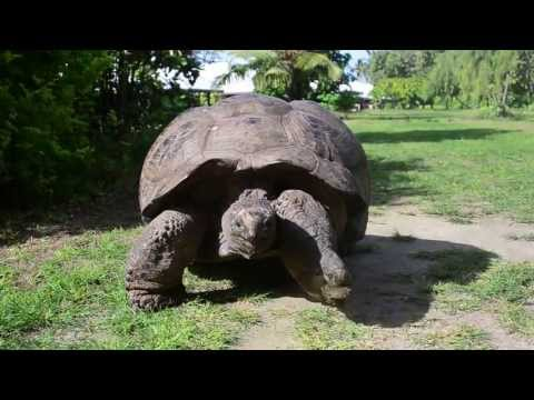 Giant tortoise walking on Bird Island, Seychelles.