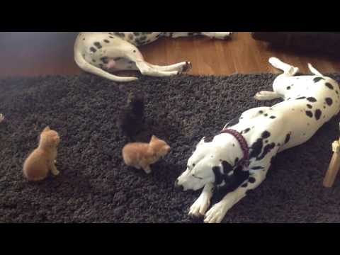 Dalmatian Puppies meet the Kittens for the first time