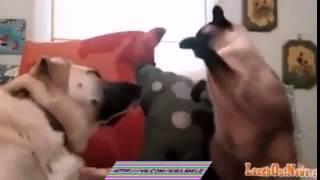 Кот боксер накоутировал собаку Kisa Smile Прикольные фото и видео с кошками