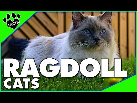 Top 10 Facts Ragdoll Cats 101- Ragdoll Cat Breed - Animal Facts