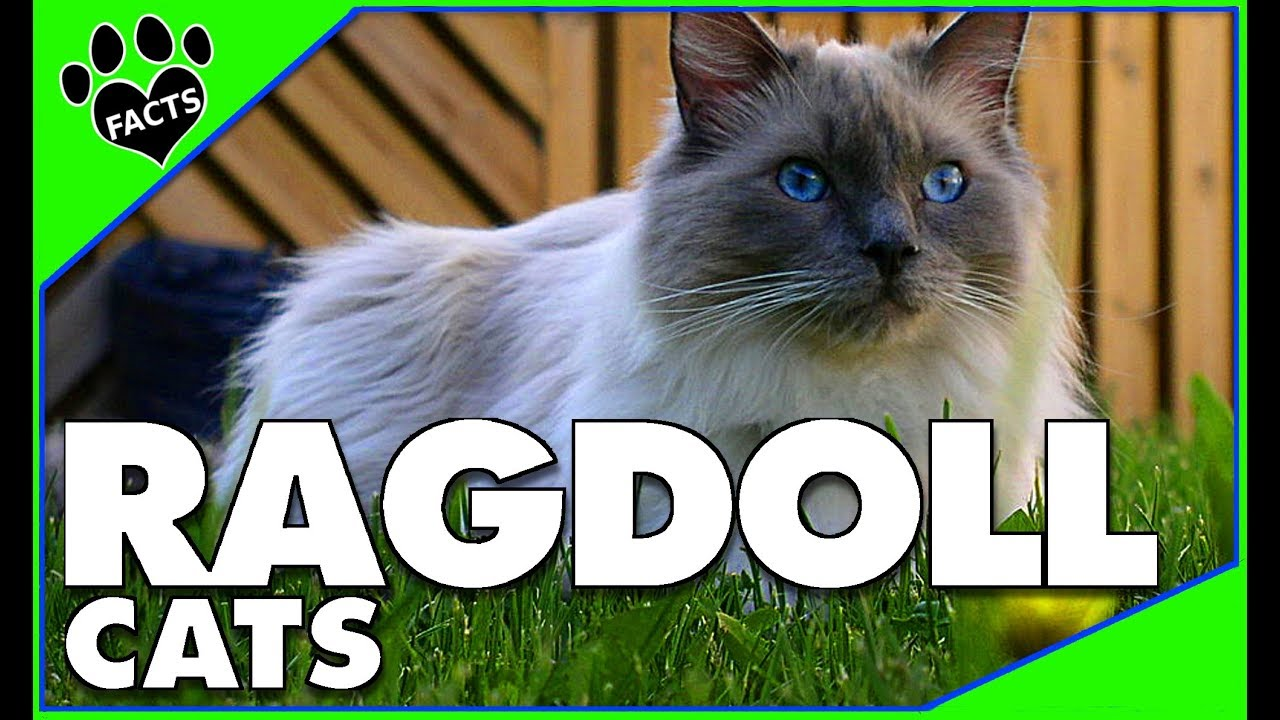 Cats 101 Ragdoll Cats Top 10 Facts Ragdoll Cats 101 Ragdoll Cat