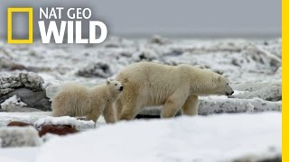The Life of a Polar Bear Cub | Destination WILD