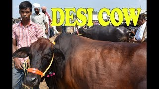 Desi cow with high quality milk production| Desi cow farming in India