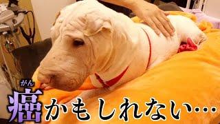 ブチャ犬もやちゃん「がん」の疑いで急きょ病院へ…獣医さんの言葉が怖すぎる。