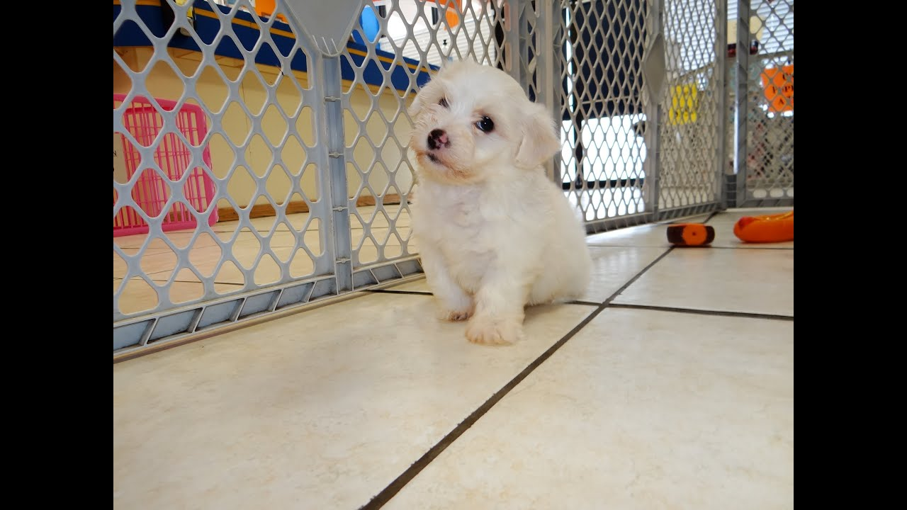 Bichon Frise Puppies Dogs For Sale In Charlotte North