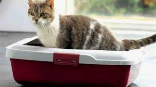 Как приучить кота  к лотку. How to accustom the cat to the tray