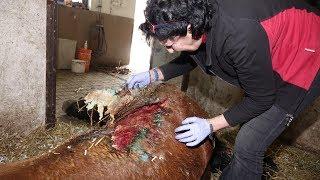 Ratujemy chore konie i krowy