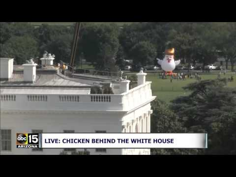 YOU WON'T BELIEVE THIS! Giant inflatable Trump-like chicken spotted near White House