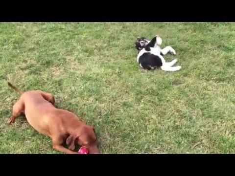 Hungarian Vizsla and Central Asian Shepherd Dog playing