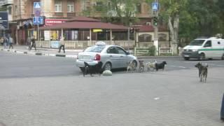 В центре Херсона таксистам не дают работать вкрай озверевшие бездомные собаки