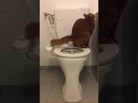 Somali Cat uses human toilet