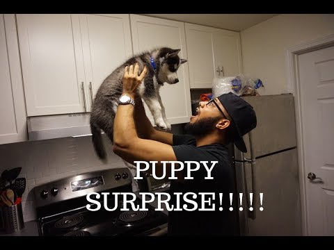 VLOG: SURPRISED MY BOYFRIEND WITH A HUSKY PUPPY! (shocked!)