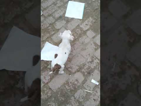 Pitbull puppies for sale in pure quality By Rohit Dog kennel 8650006680 in Dehradun Haridwar Roorkee