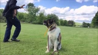 Teach Dog sit as implied stay, Akita,Westie,Lab