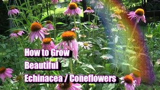 How to Grow Beautiful Echinacea / Coneflowers
