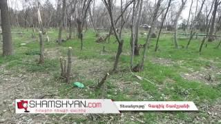 Վանդալիզմ Երևանում  Ծիծեռնակաբերդի տարածքում մեծ թվով առողջ ծառեր են կտրվել