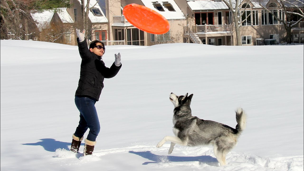 Cute Siberian Husky Dog Plays Frisbee in the Snow ...