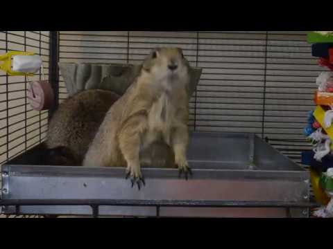 Pet Prairie Dog Cage Update 5 28 17 Youtube