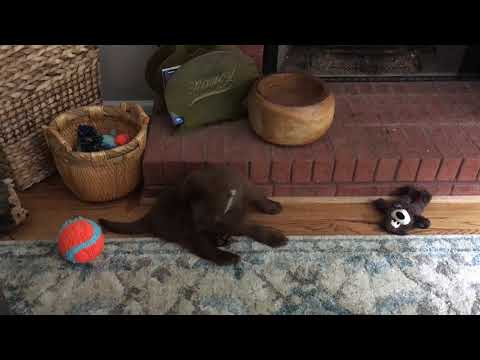 Labrador Retriever Puppy Dominating a ChuckIt Indoor Ball