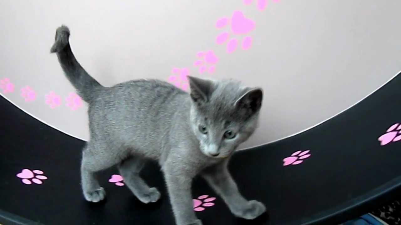 Loveblues10 week old Russian Blue Kittens on the Maclaw wheel