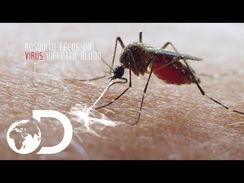 Deadliest Creature In the World | Mosquito