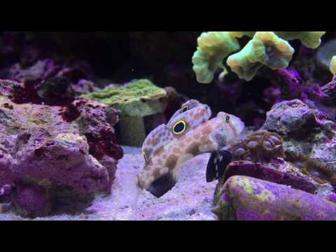 Keeping Reef Fish - Focus On Twin Spot Goby
