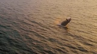 Whale 'Waving' Caught On Drone