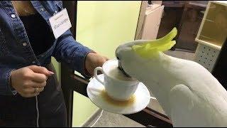 Попугай Какаду Кирюня ради кофе способен на многое)))