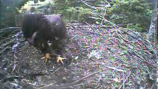 Humboldt Bay eagles,beautiful fly off by Stormy,8/3/13