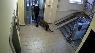 Леопард в подъезде