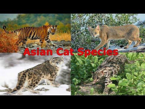 All Cat Species (Asia) - Species List