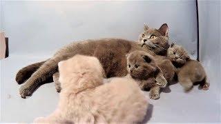 Британская короткошерстная кошка и ее смешные котята - британские коты и кошки 2019