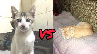 Cat Fight / Lazy Fat Brown Cat VS Tiny Furious Black & White Cat