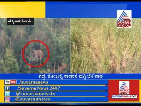 Chikmagalur; Wild Elephants Destroys Farmer's Crops