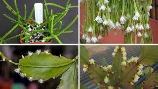 Apresentação de 6 Espécies de Rhipsalis para identificação