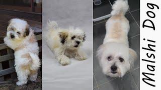 Puppy Dog Growing Up to Full Gown Adult Malshi Dog (Maltese Shih Tzu mix), Wookidog